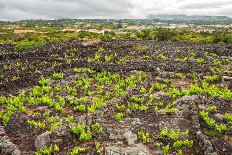 Pico Island Vineyard. Traditional vineyard with lava walls on Pico Island, Azores royalty free stock photography
