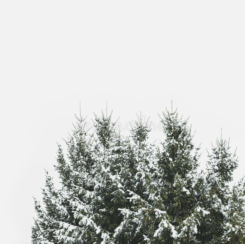 Pico nevado de abetos foto de archivo libre de regalías
