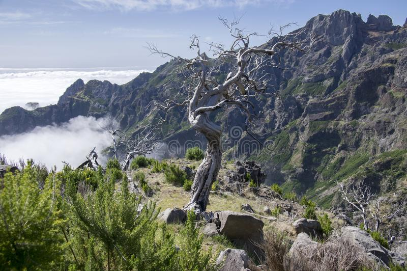Pico Ruivo que camina, paisaje mágico asombroso, visiones increíbles, árbol quemado contra el cielo azul, isla Madeira, Portugal foto de archivo