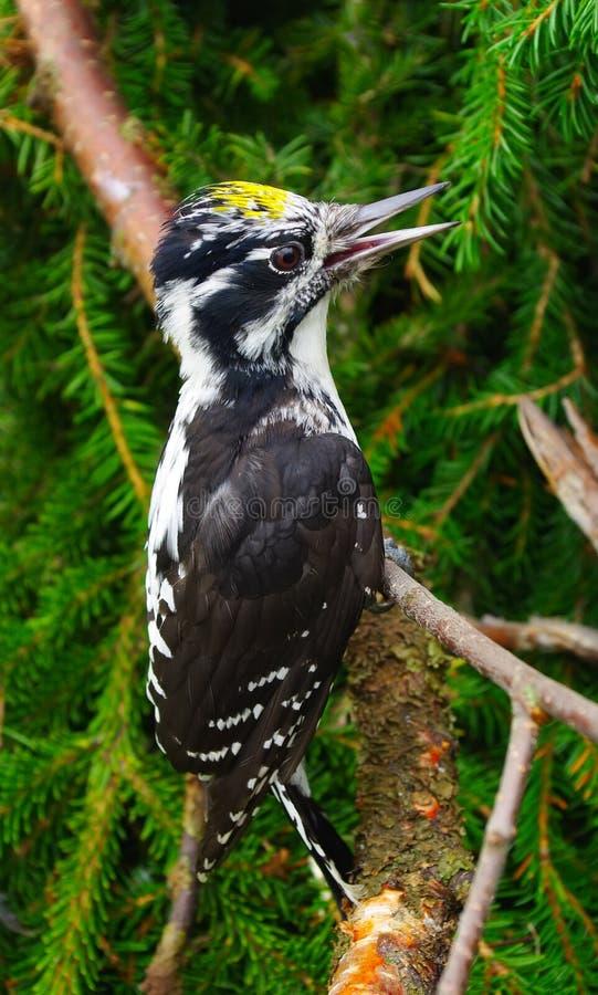 picoides tridactylus啄木鸟 图库摄影