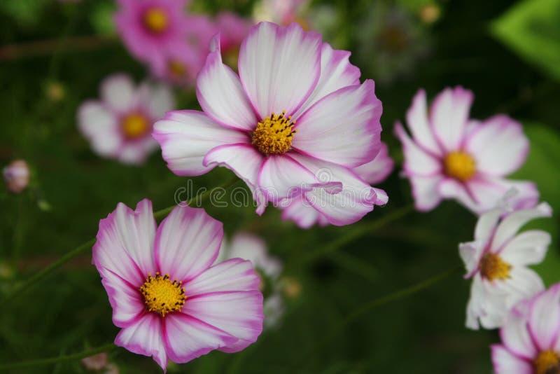 Picotee kosmos som blommar i sommarträdgård royaltyfri bild