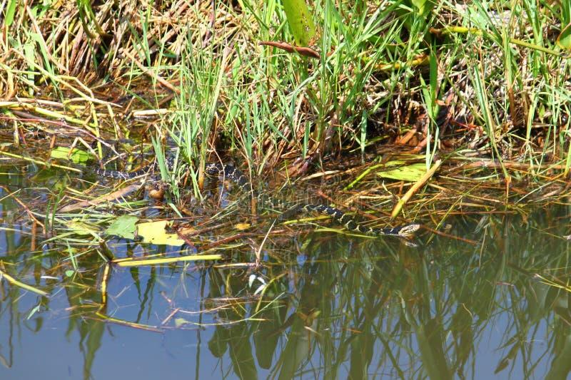 Pictiventris do fasciata do Nerodia da serpente de água de Florida imagens de stock