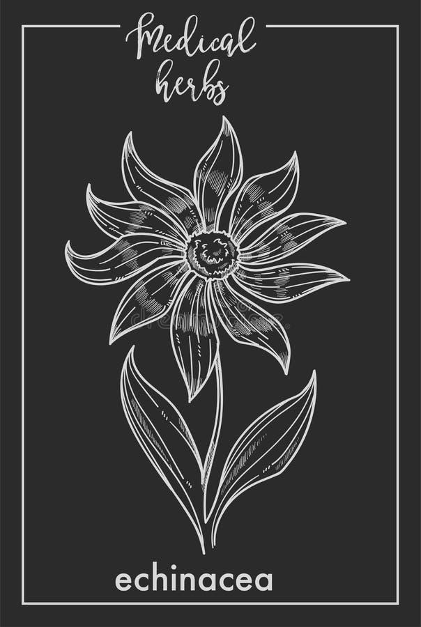 Pictogram van het de schets botanische ontwerp van het Echinacea het medische kruid voor geneeskrachtig kruid of het phytotherapy royalty-vrije illustratie