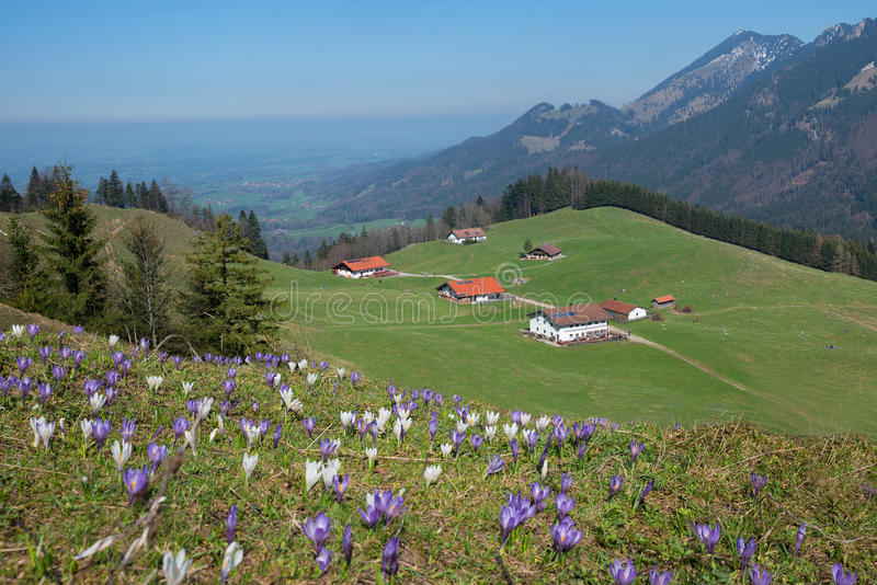 Pictorial alpine landscape with cabins and crocus meadow royalty free stock photo