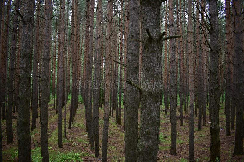 Pictorial composition tall trees of the pine grove royalty free stock photography