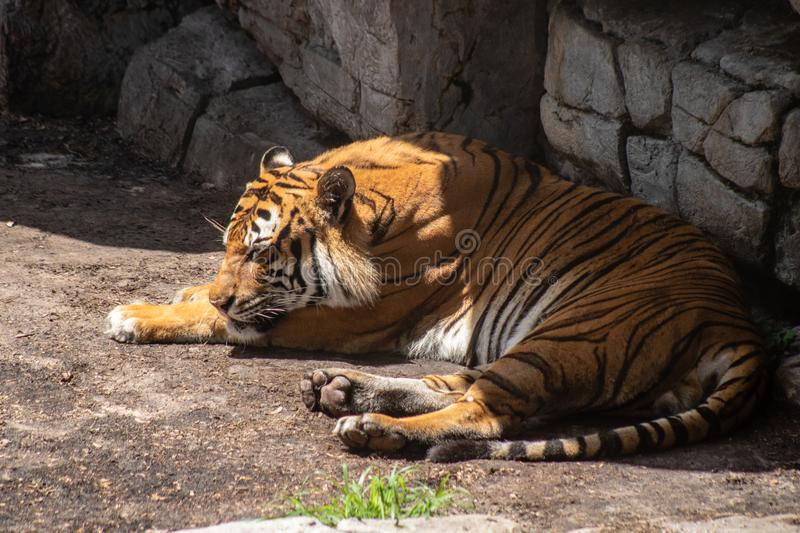 Adult male tiger. Picture of am adult male tiger taking a nap in the sun royalty free stock photos