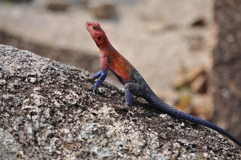 A picture of an Agama. royalty free stock photography