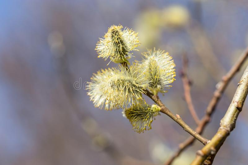 Picture with alder. Flowers of spring alder on a sunny day stock photography