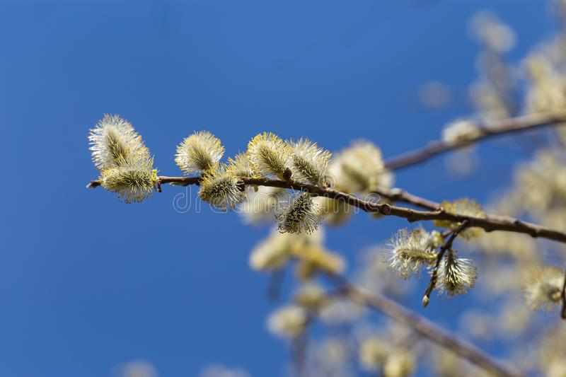 Picture with alder. Flowers of spring alder on a sunny day royalty free stock images