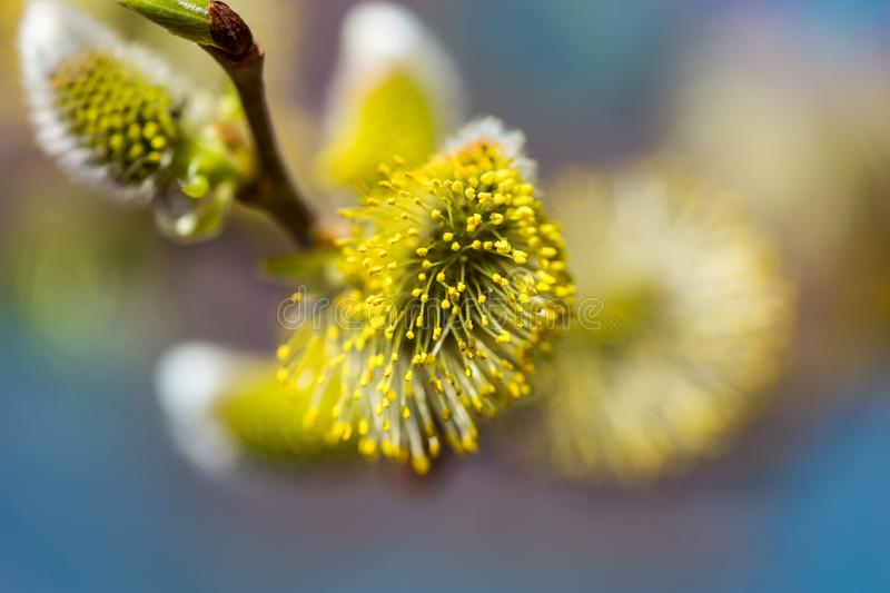 Picture with alder. Flowers of spring alder on a sunny day royalty free stock photography