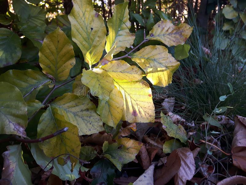 Fall leafs in the shadow. A picture with allot of leafs. Green leafs that are slowly turning more and more yellow. Brown withered leafs that have fallen to the royalty free stock images