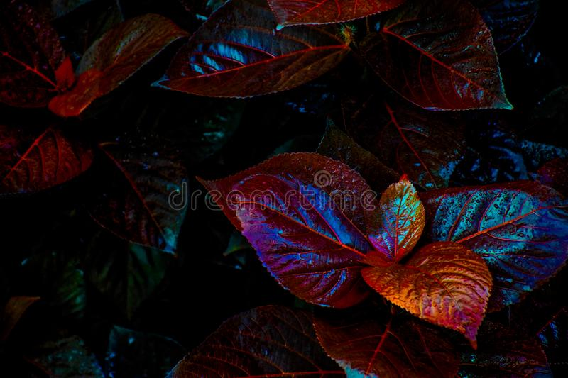 Picture of Amazing multicolored leaves in rainy season captured in India royalty free stock image