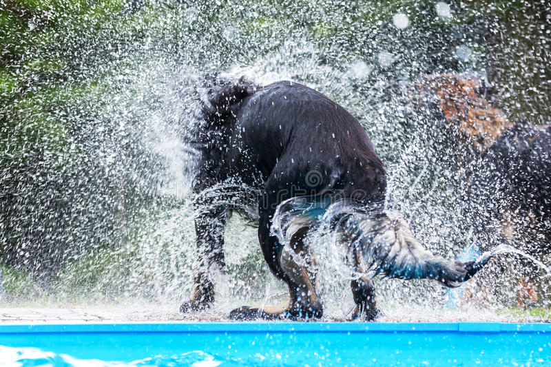 Backside of a black dog at a pool who shakes the wet fur. Picture of the backside of a black dog at a pool who shakes the wet fur stock image