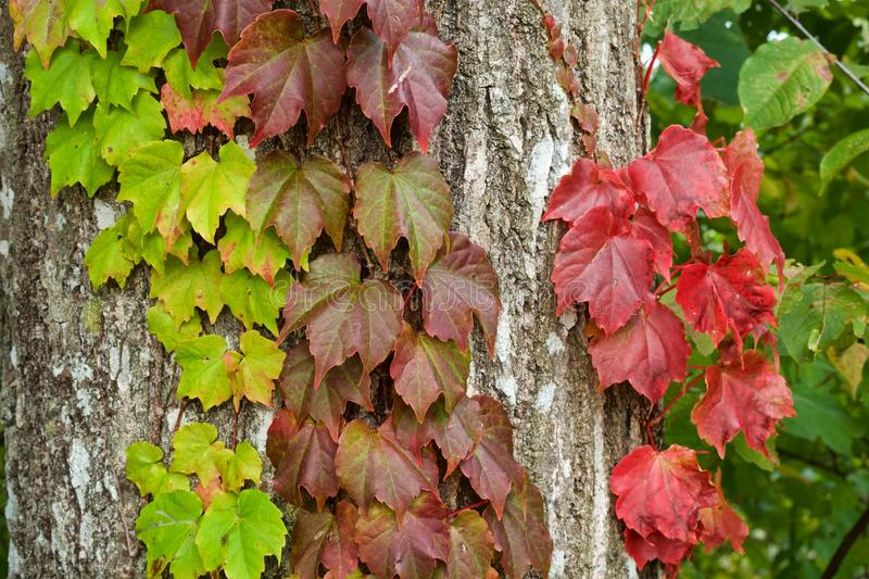 Autumn ivy leaves. Picture of the beautiful autumn ivy leaves royalty free stock photography