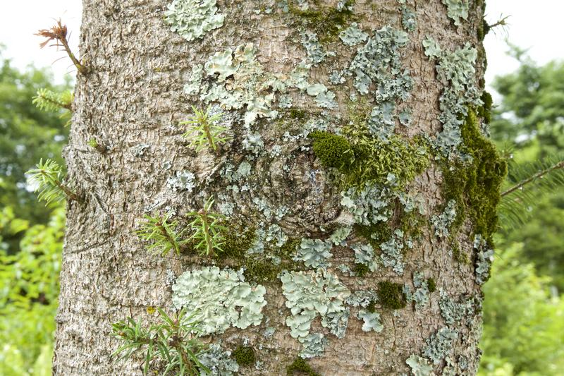 Bark and the lichen. stock image