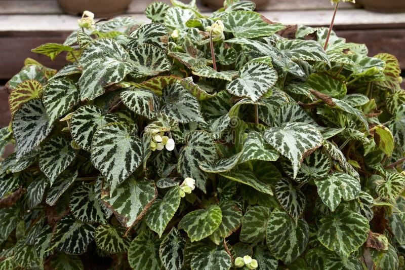 Beautiful begonia leaves. Picture of the beautiful begonia leaf stock photos