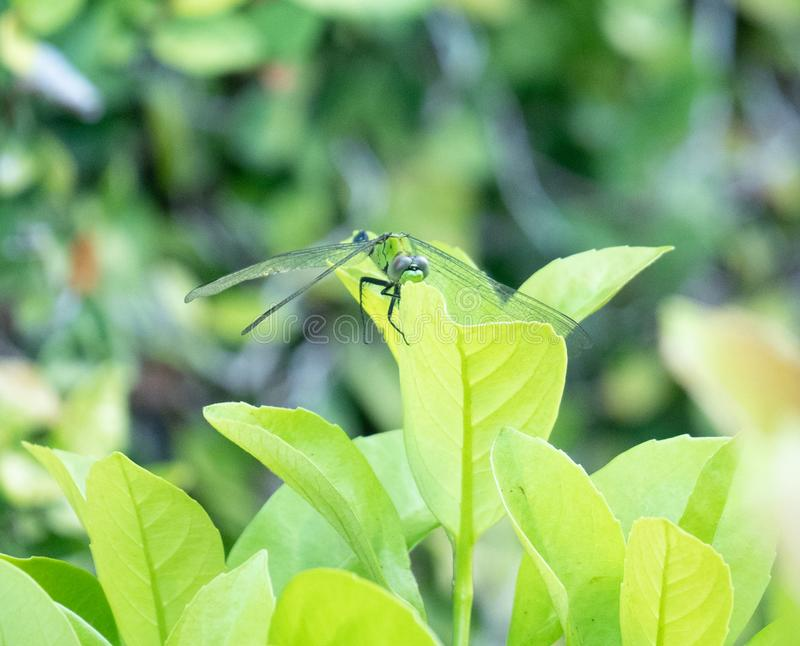 A picture of beautiful blue dragonfly stock photo