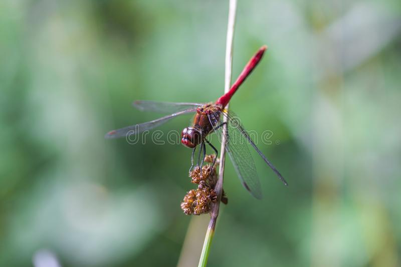 The picture of beautiful dragonfly stock image
