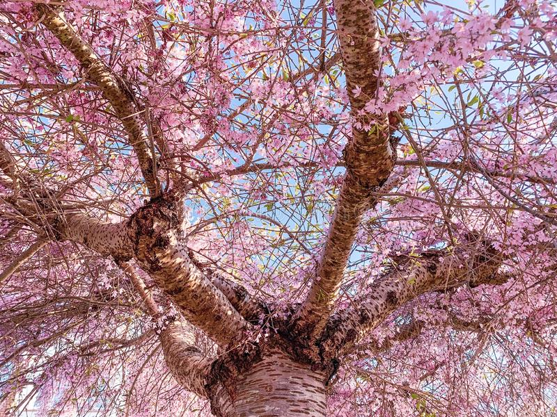 Pink Flowered Tree stock photos