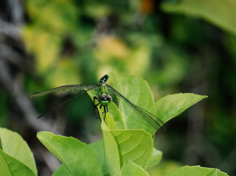A picture of beautiful green dragonfly royalty free stock photos
