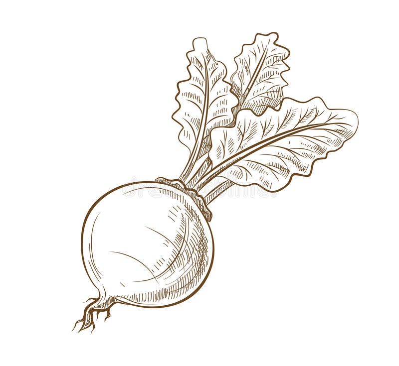Picture of beet with leaves. Vector vintage hand drawn picture of beet with leaves stock illustration
