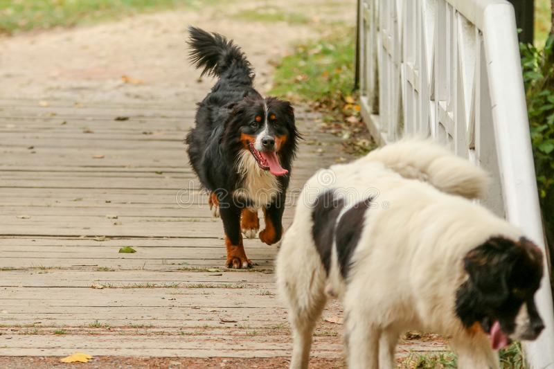 Happy Bernese mountain dog running stock images