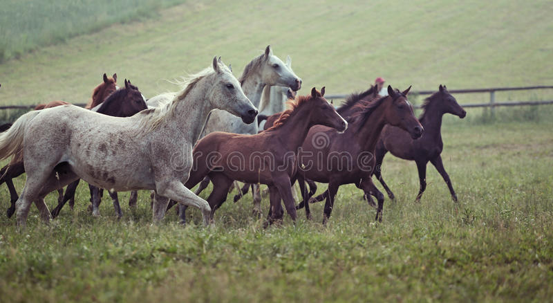 Picture of bevy wild horses on the meadow royalty free stock photos