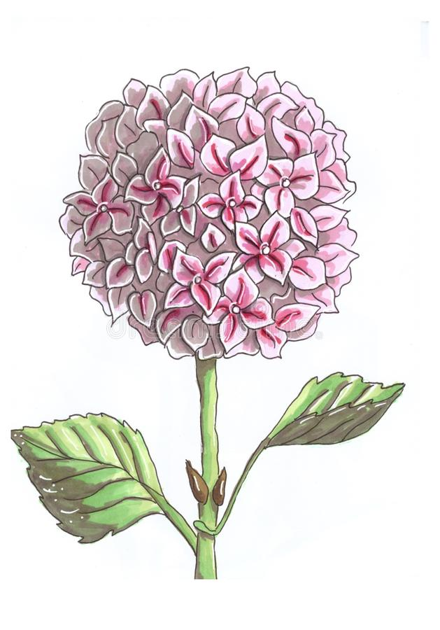 Picture of big round flower pink hydrangea. Branch, leaves, alone, white, background, gift, romantic, love, sweet, nice, botanic, naturr, nature, sketch, art stock illustration
