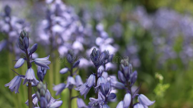 Blue Flowers in Bloom stock photos
