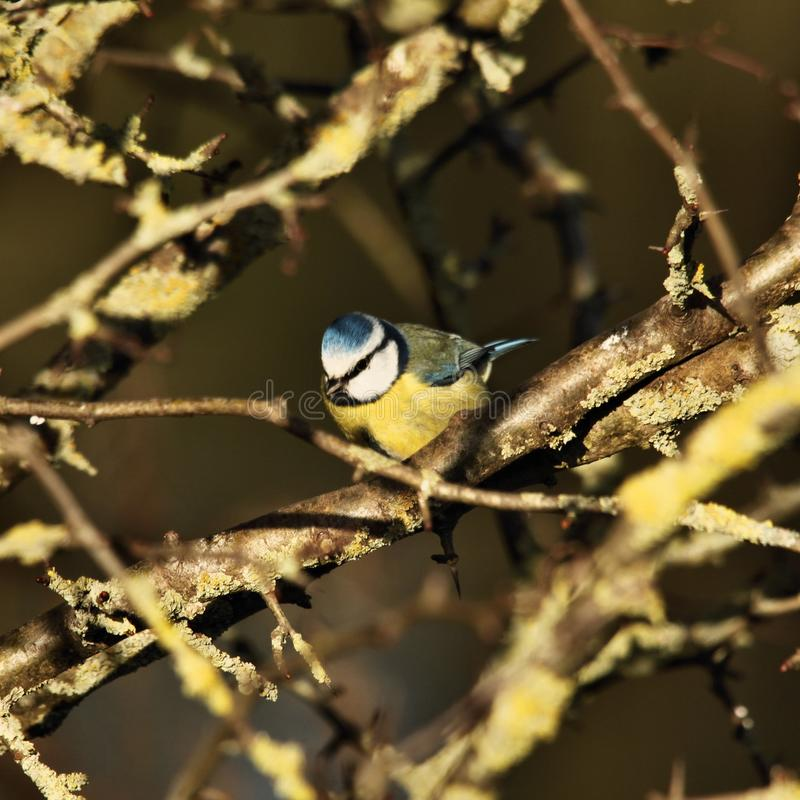A picture of a Blue Tit. In atree in my garden stock photos