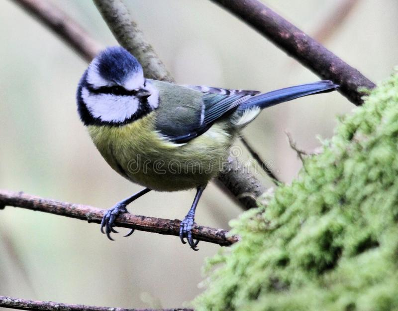 A picture of a Blue Tit. In atree in my garden stock photo