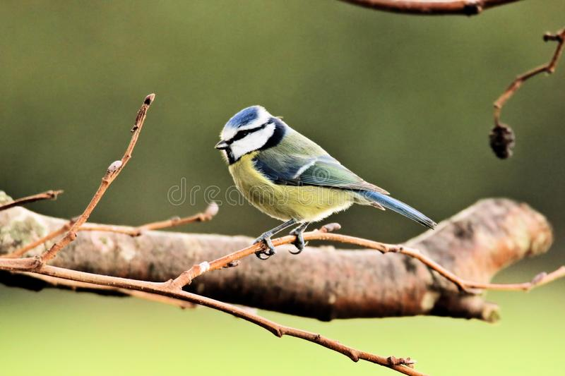 A picture of a Blue Tit. In atree in my garden royalty free stock photography