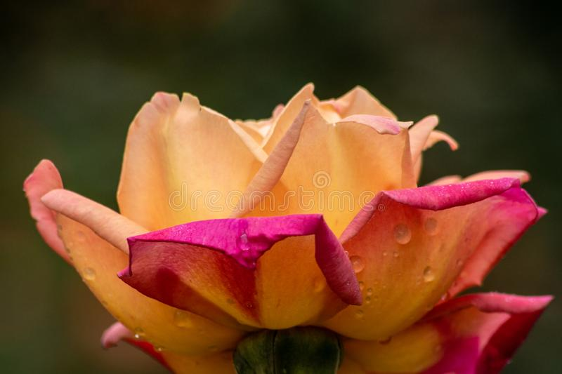 Bright pink and yellow flower. Picture of a bright pink and yellow flower royalty free stock photography