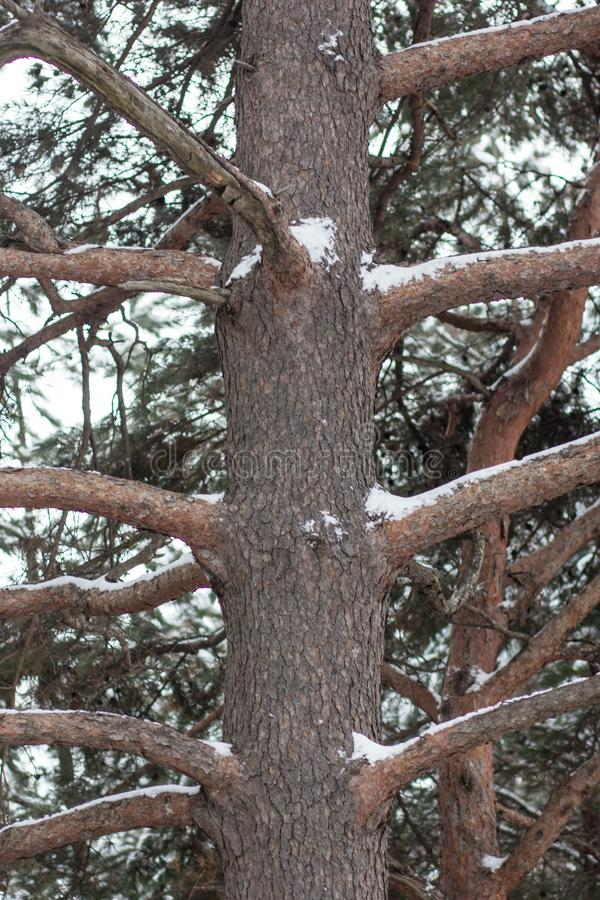 A picture of a brown tree trunk with its branches during winter. A brown, thick tree trunk with many branches branching out to different direction royalty free stock images