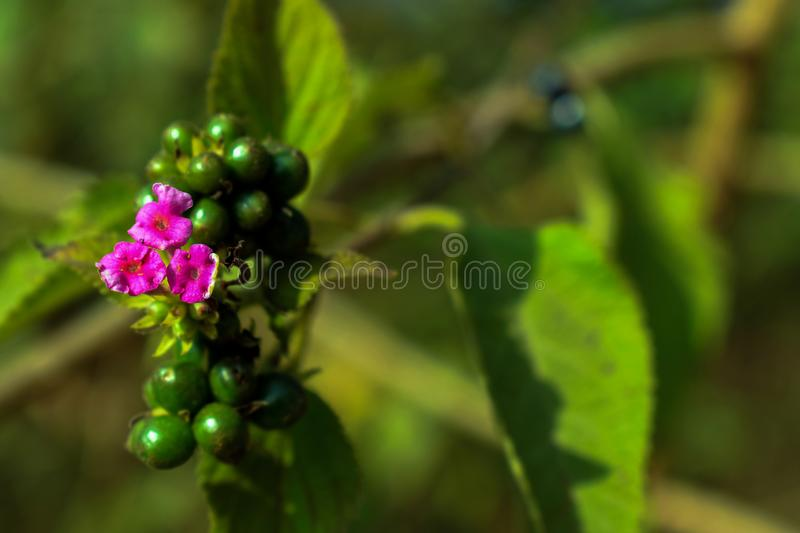 Bunch of tiny pink flowers under bright sunlight in the garden royalty free stock photo