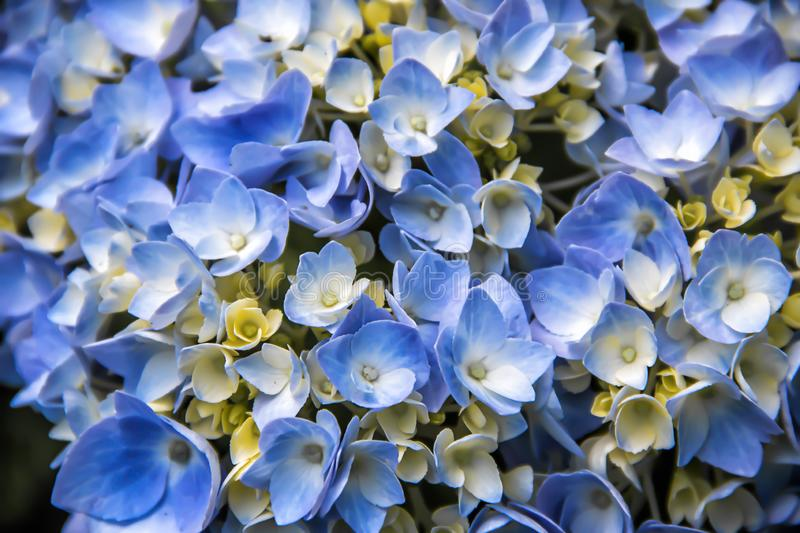 Closeup of a blue hydrangea growing in the summer stock image