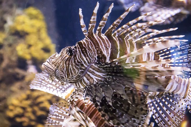 Colorful lion fish floating at the Ripley`s Aquarium in Toronto Ontario Canada stock photo
