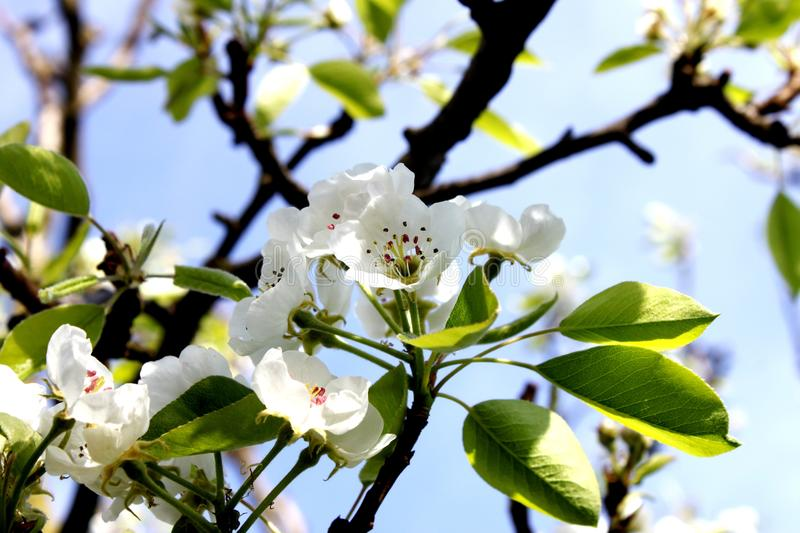 Pear orchard flowers blooms closeness of nature royalty free stock photos