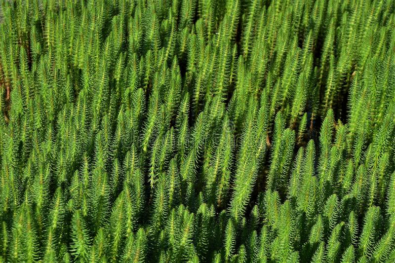 A picture of creeping, perennial herb Hippuris vulgaris. A picture of creeping, perennial herb Hippuris vulgaris known as mare`s-tail or common mare`s-tail royalty free stock image
