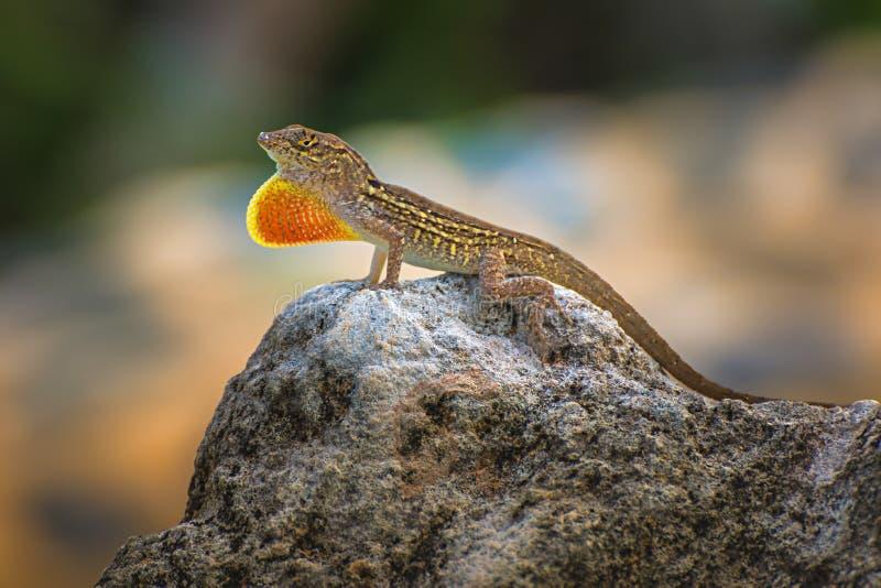 Brown Anole / Anolis Sagrei Stock Image - Image of animal ...