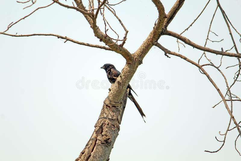 Cuckoo  Bird on Tree-Koyal Bird royalty free stock image