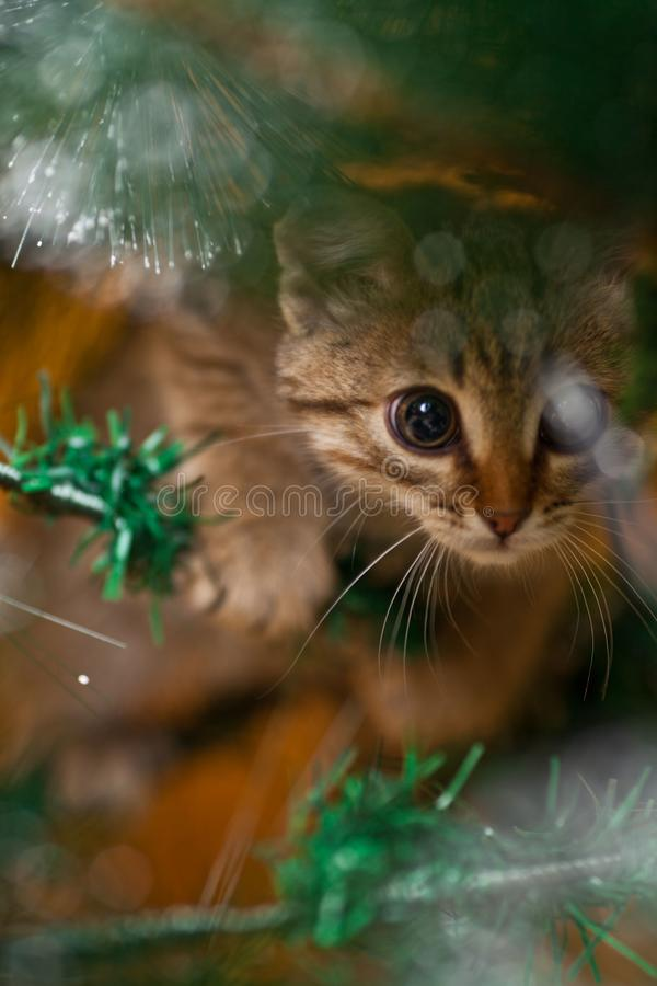 Cat climbing on a new year tree royalty free stock photos