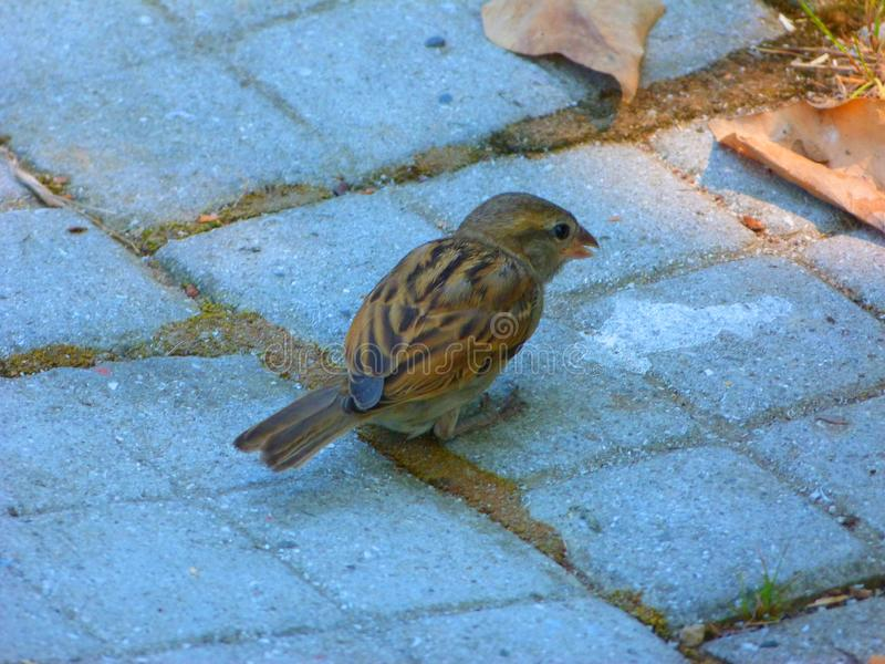Cute little sparrow looking for food. Picture with a cute little sparrow whose looking for food. Small funny bird is really adorable royalty free stock photos