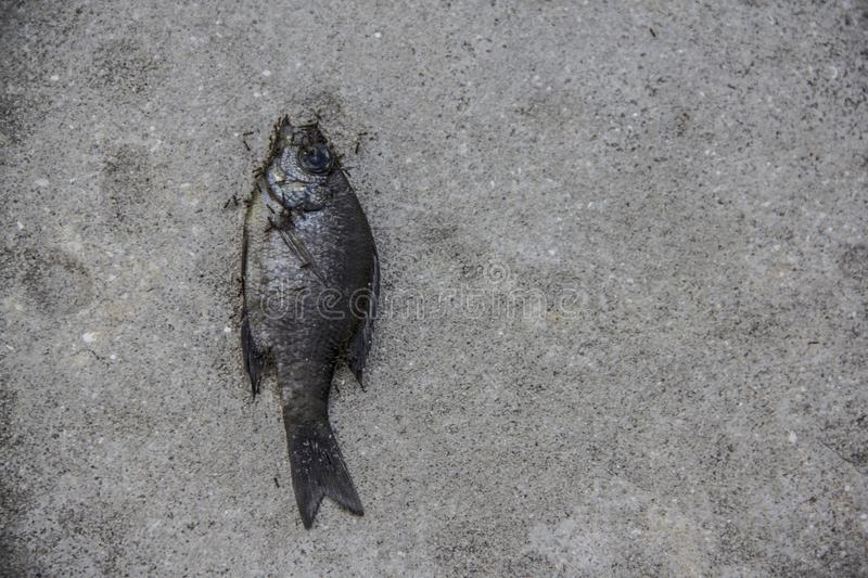 Dead fish on the ground in the Naples Botanical Garden in Naples Florida royalty free stock photography