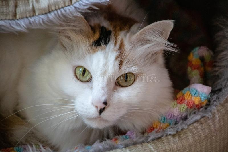Domestic long haired cat. Picture of a domestic long haired cat stock images