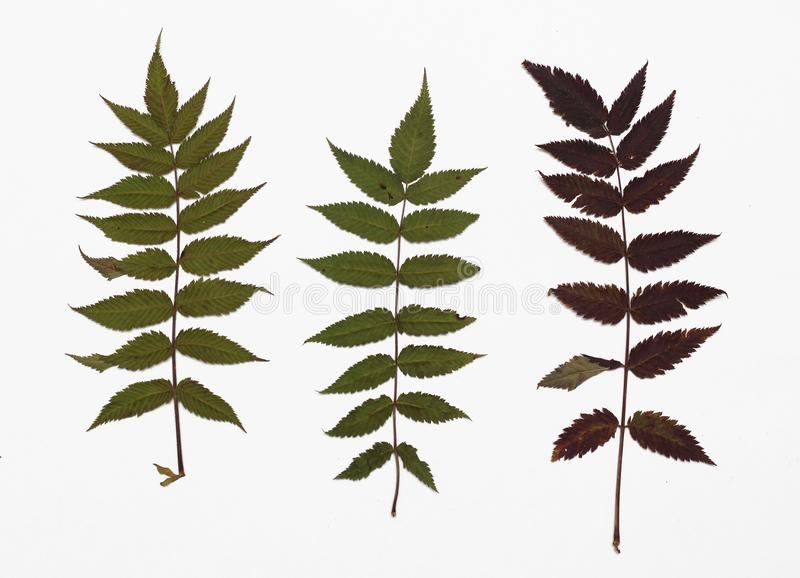 Picture of dried leaves False spiraea in several variants royalty free stock photography