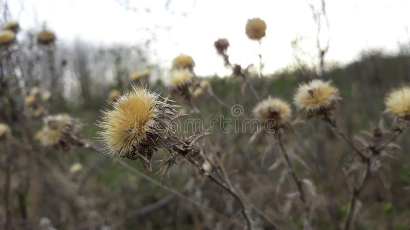 Dry winter flower in spring. Picture of dry winter flower in spring stock image