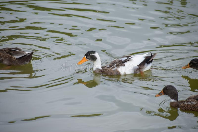 Picture of Duck is the common name for a large number of species in the waterfowl family Anatidae which also includes swans and. Geese, swimming in a pond stock photos