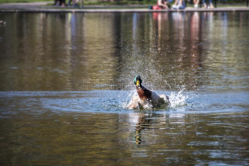 Duck splashing in the water of a pond stock photo