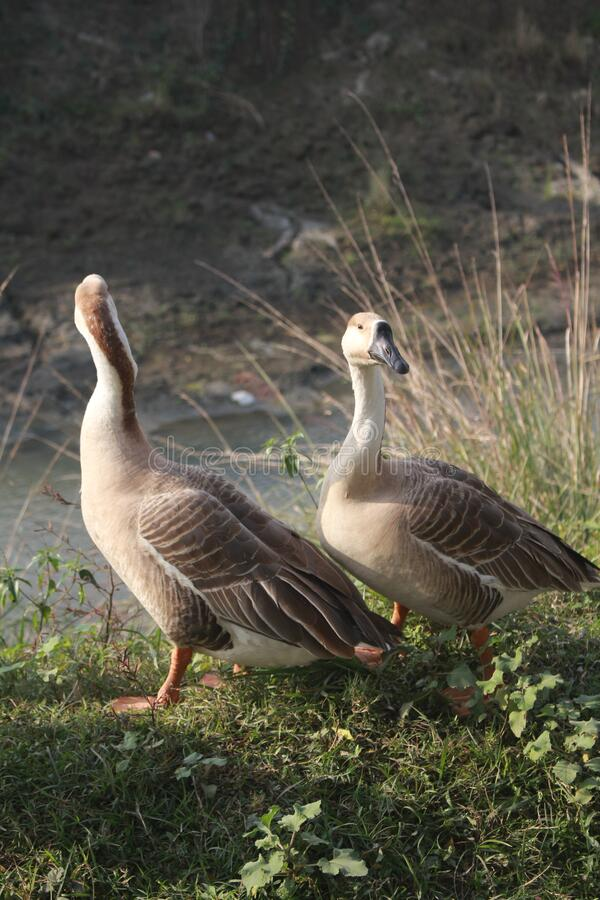 Picture of Ducks in Bangladesh. It was taken near Mymensingh city royalty free stock photo